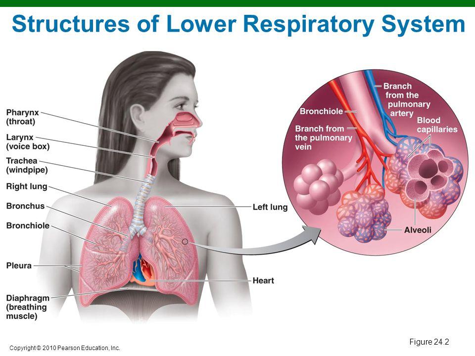 Copyright © 2010 Pearson Education, Inc. Tuberculosis Clinical Focus, p. 144