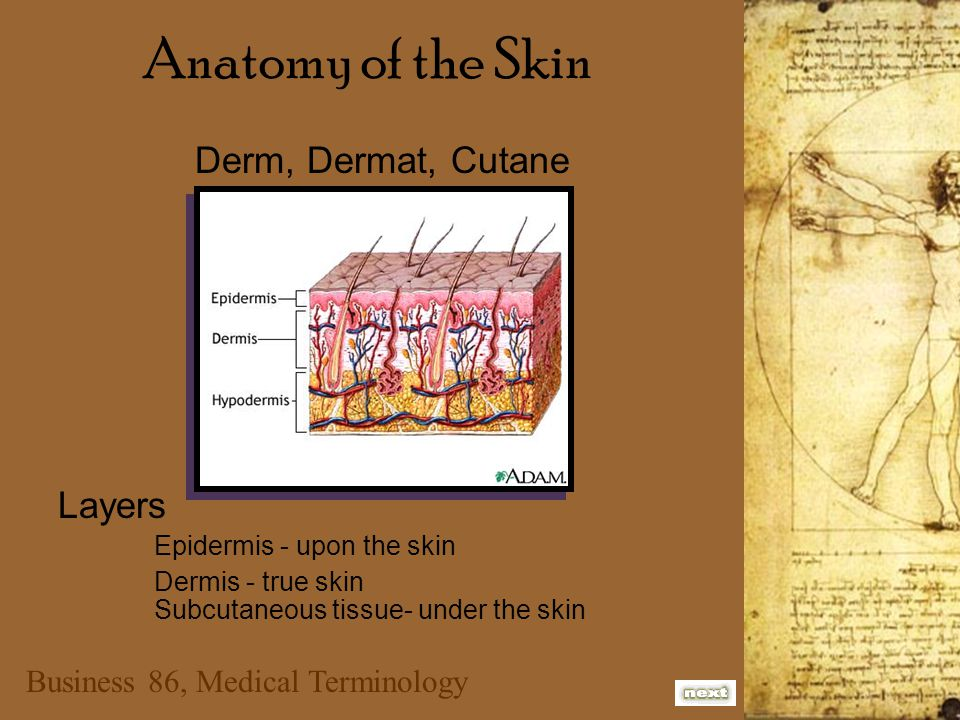 Business 86, Medical Terminology Anatomy of the Skin Derm, Dermat, Cutane Layers Epidermis - upon the skin Dermis - true skin Subcutaneous tissue- und