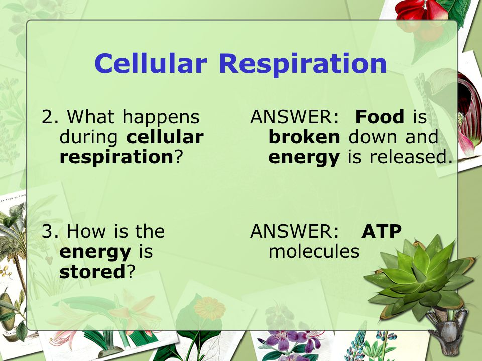 Cellular Respiration 2.What happens during cellular respiration.