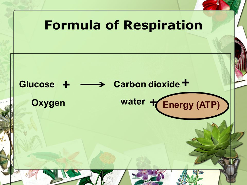 Formula of Respiration GlucoseCarbon dioxide water Energy (ATP) Oxygen + + +