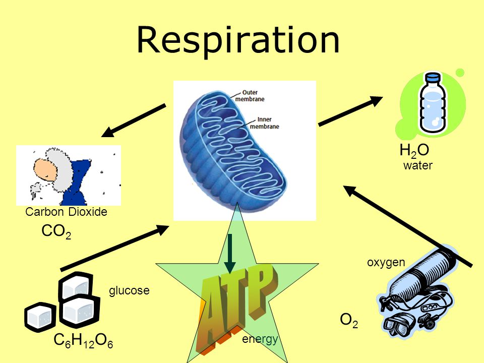 Respiration C 6 H 12 O 6 H2OH2O CO 2 O2O2 Carbon Dioxide glucose energy oxygen water