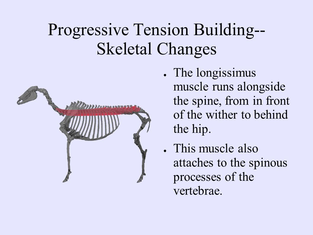 Progressive Tension Building-- Skeletal Changes ● The longissimus muscle runs alongside the spine, from in front of the wither to behind the hip.