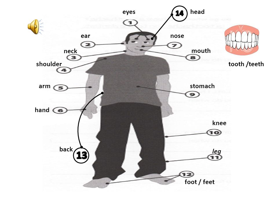 eyes ear neck shoulder arm hand nose mouth stomach knee leg foot / feet back tooth /teeth head