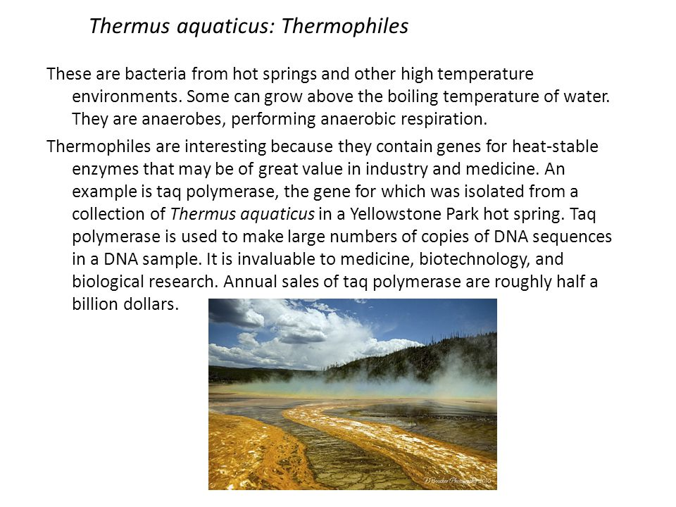 Thermus aquaticus: Thermophiles These are bacteria from hot springs and other high temperature environments. Some can grow above the boiling temperatu