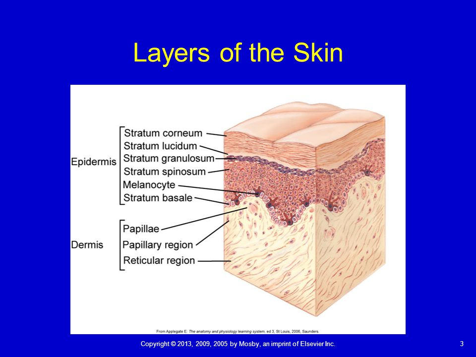 3Copyright © 2013, 2009, 2005 by Mosby, an imprint of Elsevier Inc. Layers of the Skin