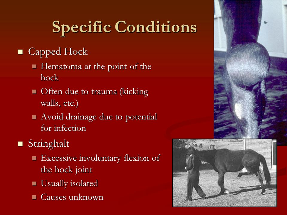 Specific Conditions Capped Hock Capped Hock Hematoma at the point of the hock Hematoma at the point of the hock Often due to trauma (kicking walls, et