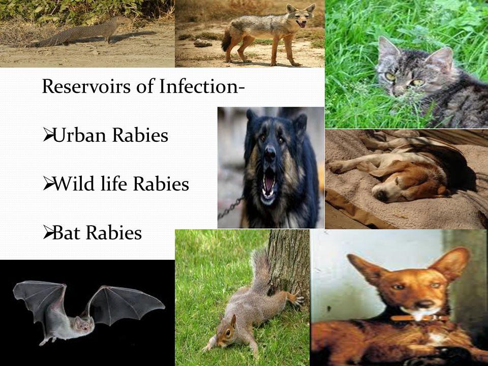 Reservoirs of Infection-  Urban Rabies  Wild life Rabies  Bat Rabies
