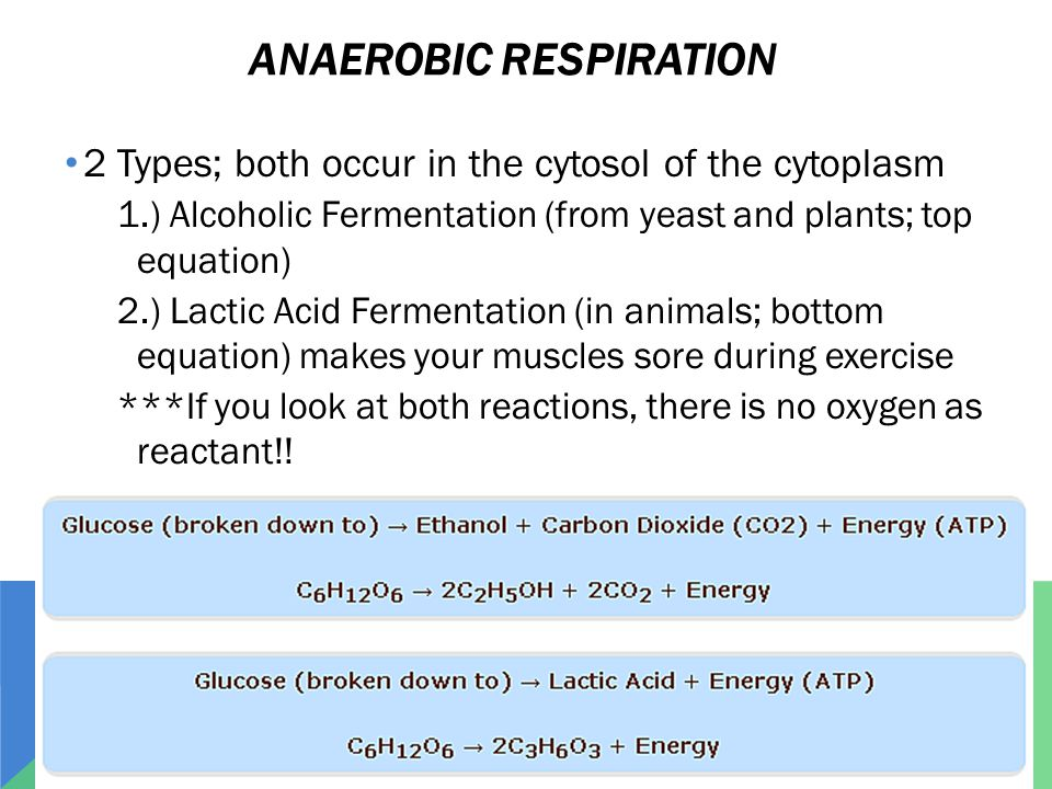 ANAEROBIC RESPIRATION 2 Types; both occur in the cytosol of the cytoplasm 1.) Alcoholic Fermentation (from yeast and plants; top equation) 2.) Lactic Acid Fermentation (in animals; bottom equation) makes your muscles sore during exercise ***If you look at both reactions, there is no oxygen as reactant!!