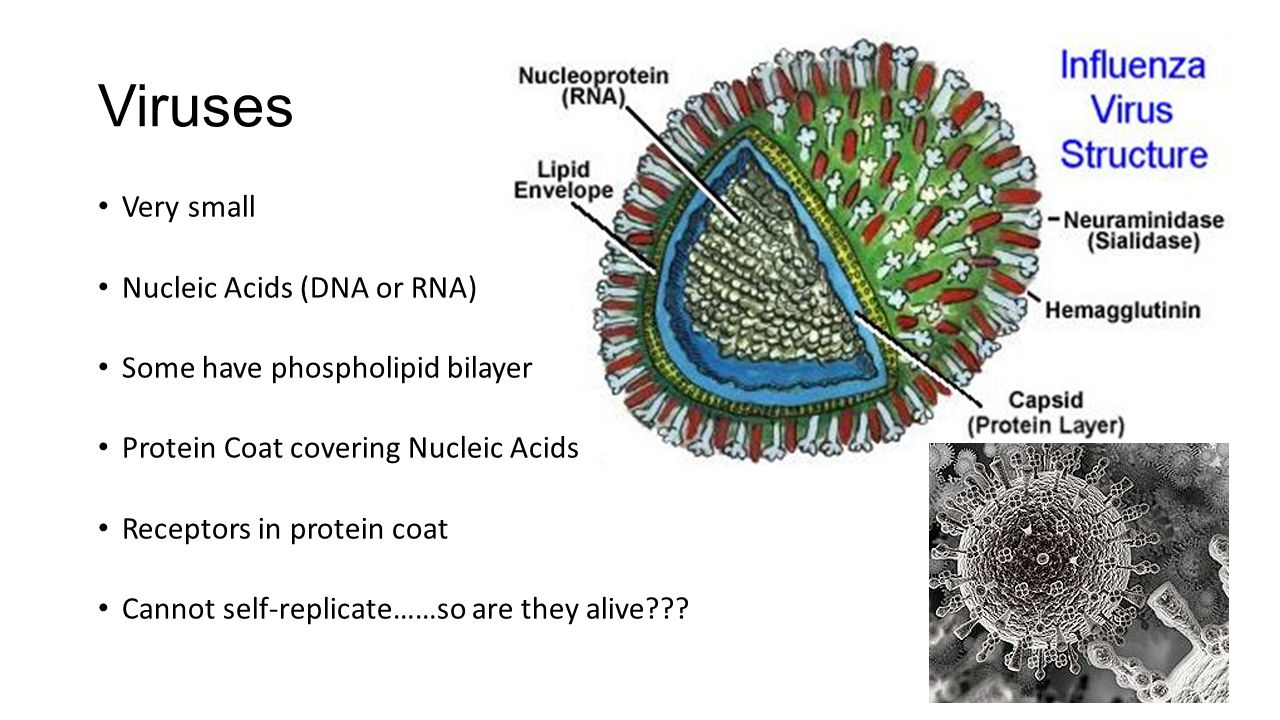 Viruses Very small Nucleic Acids (DNA or RNA) Some have phospholipid bilayer Protein Coat covering Nucleic Acids Receptors in protein coat Cannot self-replicate……so are they alive???
