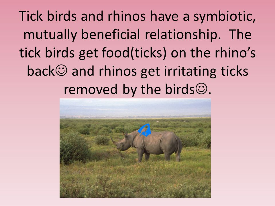 Tick birds and rhinos have a symbiotic, mutually beneficial relationship.