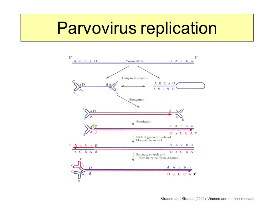 Parvovirus replication Strauss and Strauss (2002) Viruses and human disease