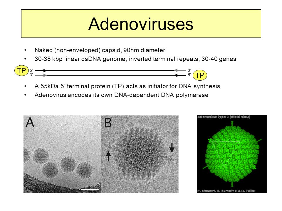 Adenoviruses Naked (non-enveloped) capsid, 90nm diameter 30-38 kbp linear dsDNA genome, inverted terminal repeats, 30-40 genes A 55kDa 5' terminal protein (TP) acts as initiator for DNA synthesis Adenovirus encodes its own DNA-dependent DNA polymerase 5'3'5'3' 3'5'3'5' TP