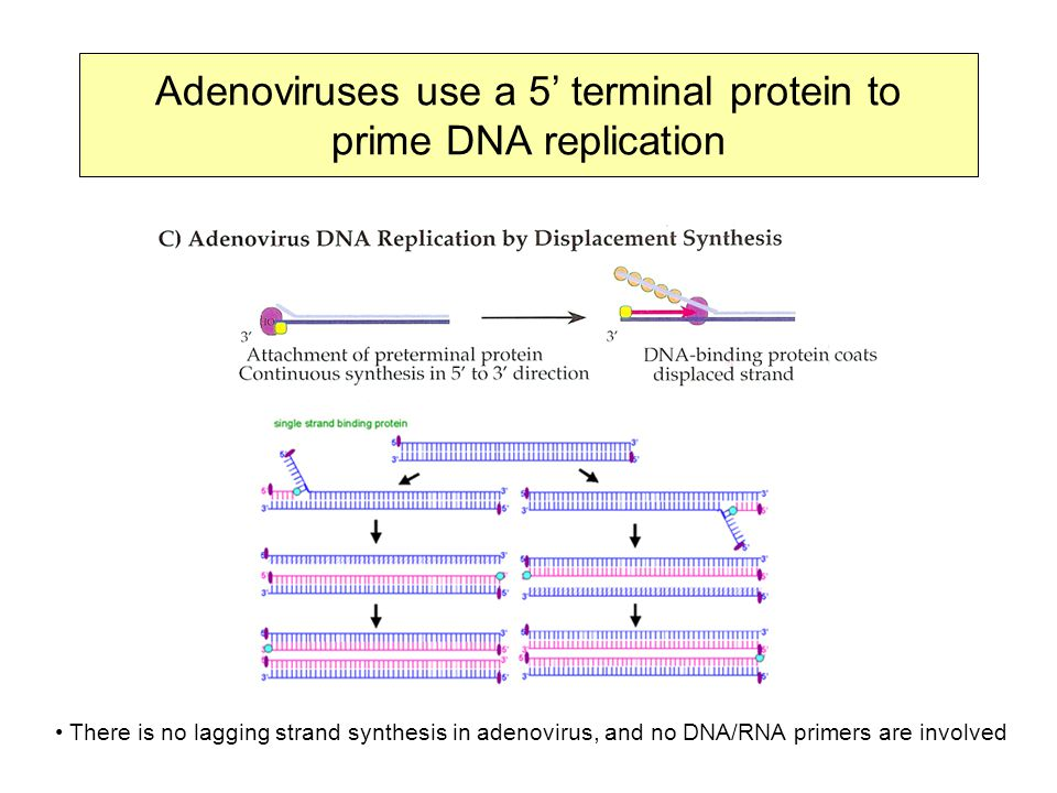 Adenoviruses use a 5' terminal protein to prime DNA replication There is no lagging strand synthesis in adenovirus, and no DNA/RNA primers are involved