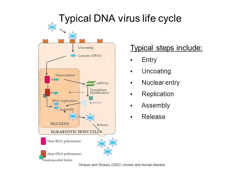 Typical DNA virus life cycle Typical steps include: Entry Uncoating Nuclear entry Replication Assembly Release Strauss and Strauss (2002) Viruses and human disease