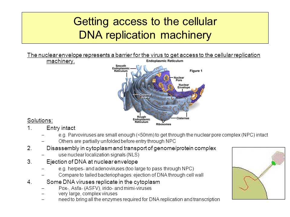 Getting access to the cellular DNA replication machinery The nuclear envelope represents a barrier for the virus to get access to the cellular replication machinery.