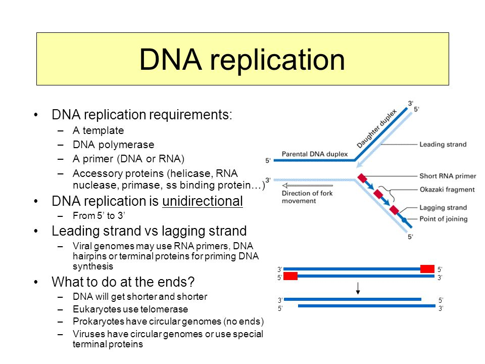 DNA replication DNA replication requirements: –A template –DNA polymerase –A primer (DNA or RNA) –Accessory proteins (helicase, RNA nuclease, primase, ss binding protein…) DNA replication is unidirectional –From 5' to 3' Leading strand vs lagging strand –Viral genomes may use RNA primers, DNA hairpins or terminal proteins for priming DNA synthesis What to do at the ends.