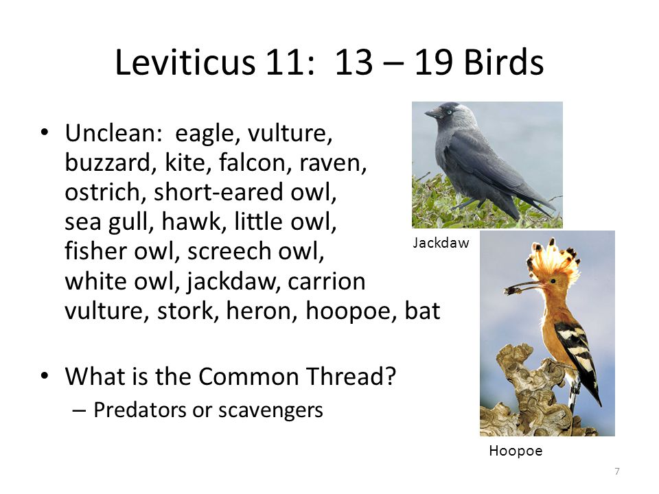 Leviticus 11: 13 – 19 Birds Unclean: eagle, vulture, buzzard, kite, falcon, raven, ostrich, short-eared owl, sea gull, hawk, little owl, fisher owl, screech owl, white owl, jackdaw, carrion vulture, stork, heron, hoopoe, bat What is the Common Thread.