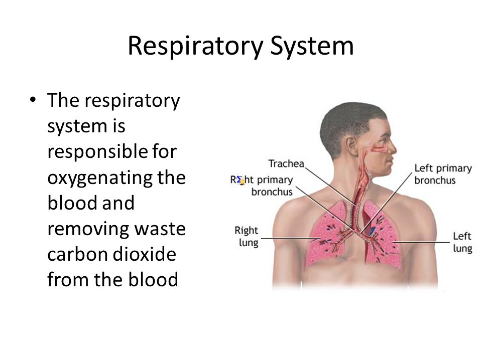 Respiratory System Alveoli are the final branches of the respiratory tree Allow gases to exchange between the lungs and the blood Tissue between alveoli and capillaries is very thin – allowing for easy gas exchange