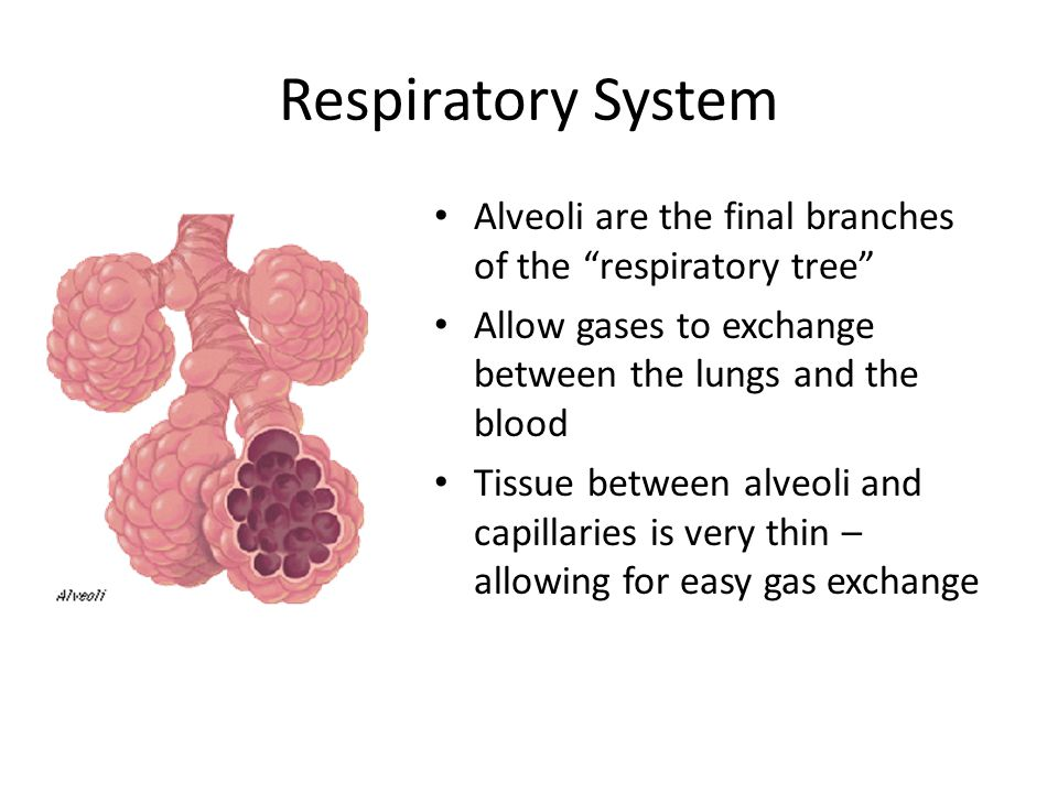Viral Diseases of the Respiratory System Most viral diseases do not directly kill the host organism Rather, the viruses destroy cells within the respiratory system, making them susceptible to bacterial infection – Staphylococci – Streptococci