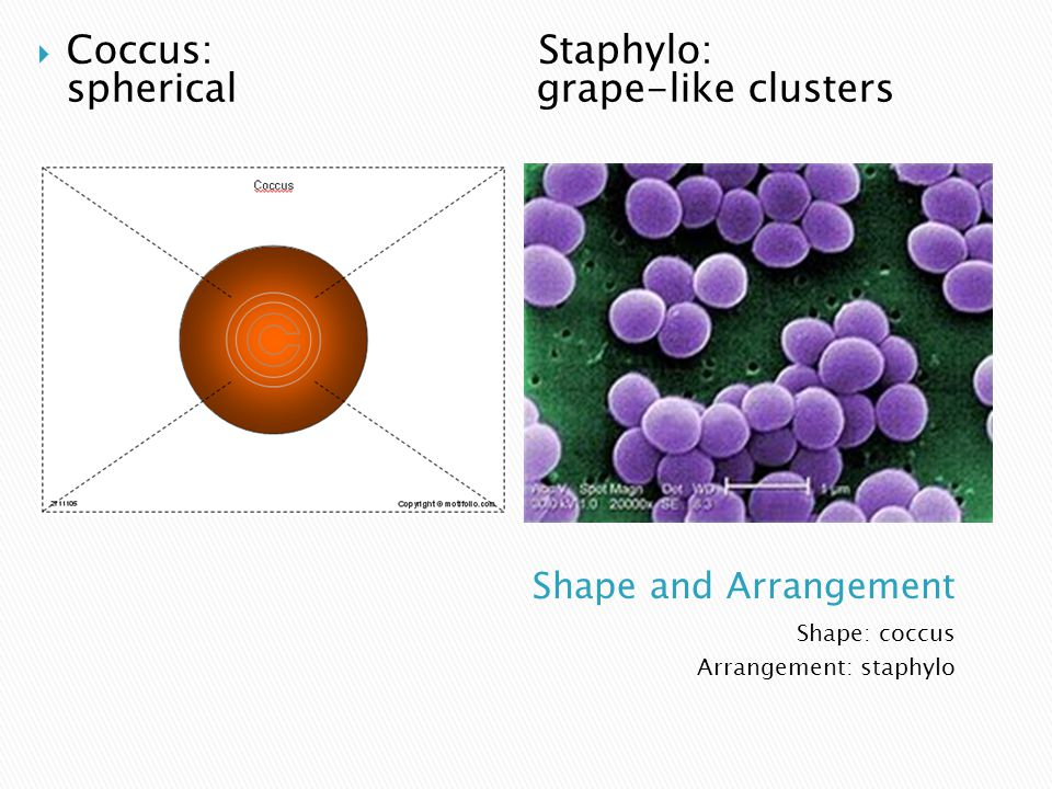 Shape: coccus Arrangement: staphylo  Coccus: Staphylo: spherical grape-like clusters