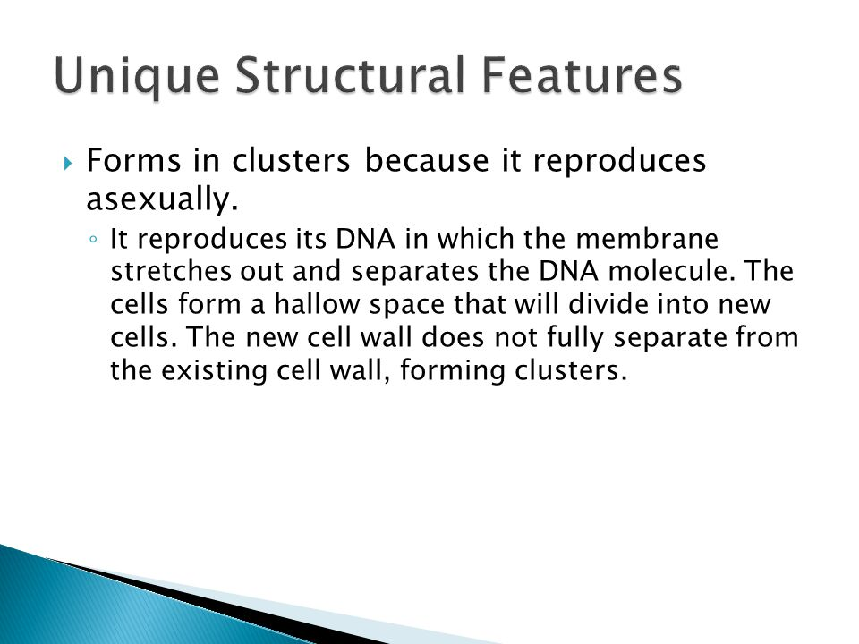  Forms in clusters because it reproduces asexually.