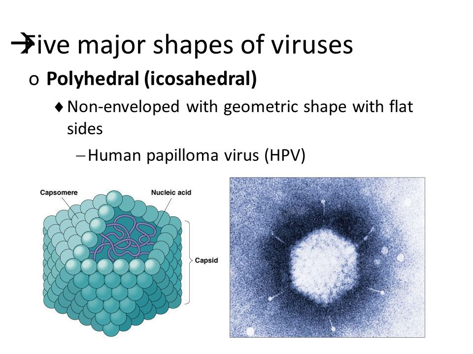  Five major shapes of viruses oPolyhedral (icosahedral)  Non-enveloped with geometric shape with flat sides  Human papilloma virus (HPV)