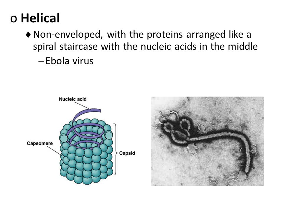 oHelical  Non-enveloped, with the proteins arranged like a spiral staircase with the nucleic acids in the middle  Ebola virus