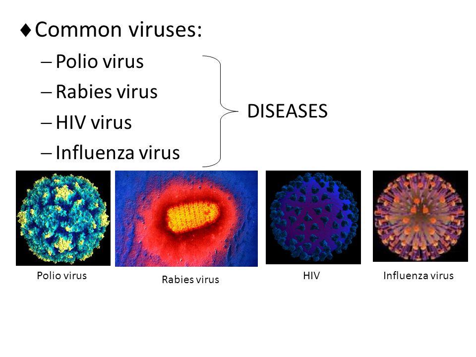  Common viruses:  Polio virus  Rabies virus  HIV virus  Influenza virus DISEASES Polio virus Rabies virus HIVInfluenza virus