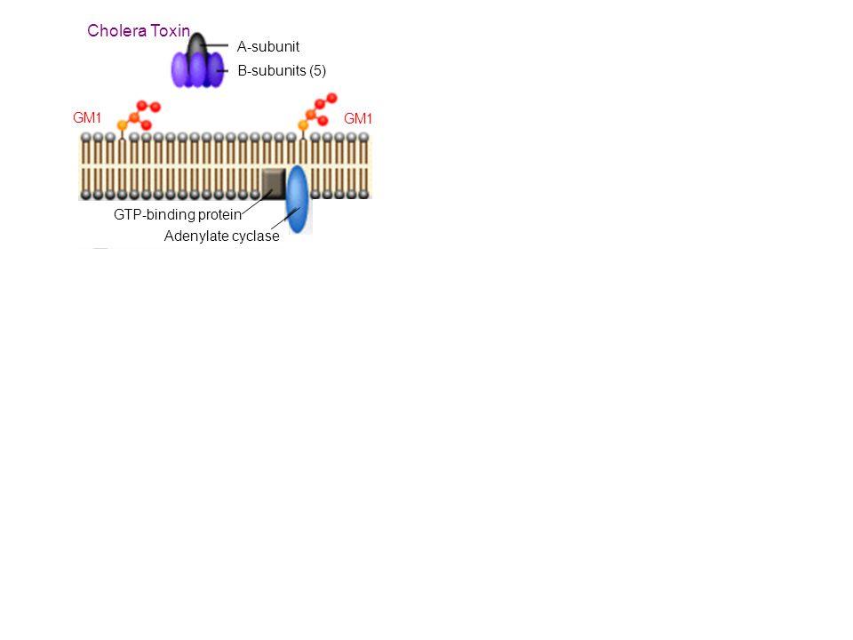 Cholera Toxin A-subunit B-subunits (5) GM1 GTP-binding protein Adenylate cyclase GM1 NAD + ADP-Ribose cAM P ATP