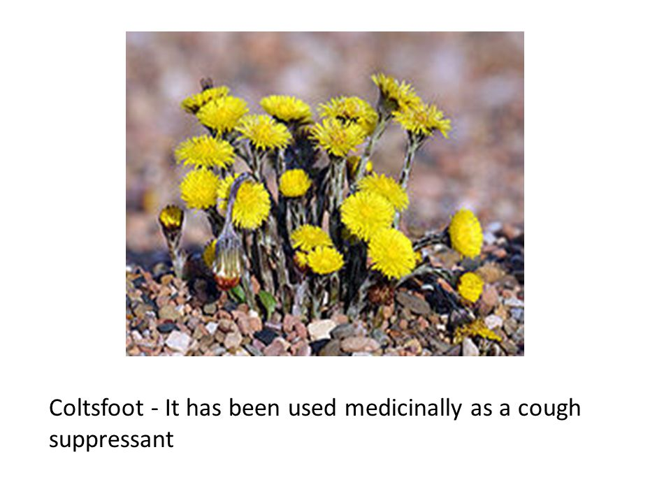 Coltsfoot - It has been used medicinally as a cough suppressant