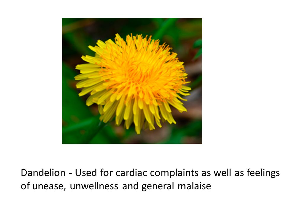 Dandelion - Used for cardiac complaints as well as feelings of unease, unwellness and general malaise