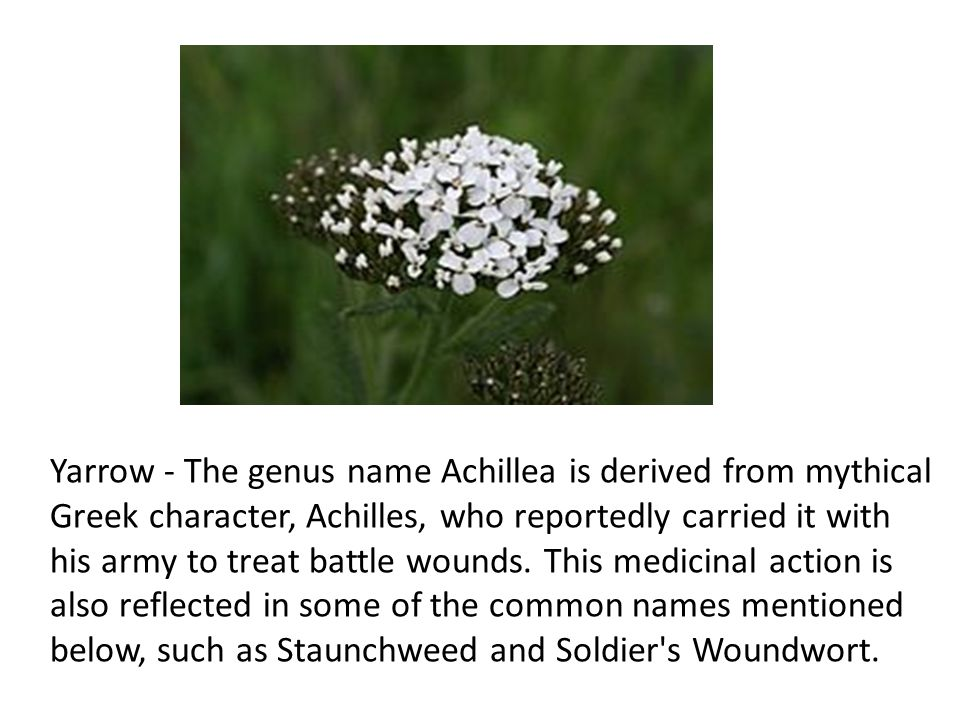 Yarrow - The genus name Achillea is derived from mythical Greek character, Achilles, who reportedly carried it with his army to treat battle wounds.