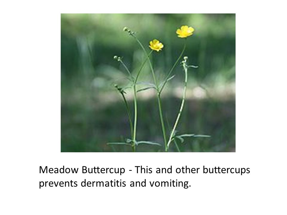 Meadow Buttercup - This and other buttercups prevents dermatitis and vomiting.