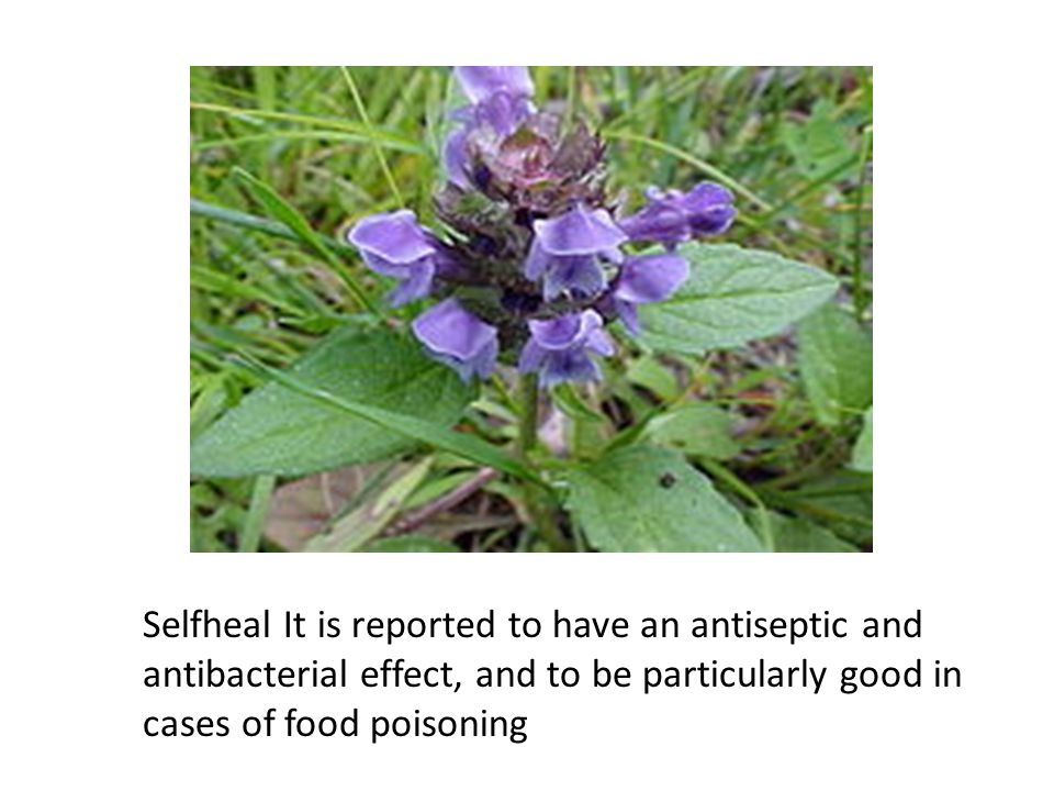 Selfheal It is reported to have an antiseptic and antibacterial effect, and to be particularly good in cases of food poisoning