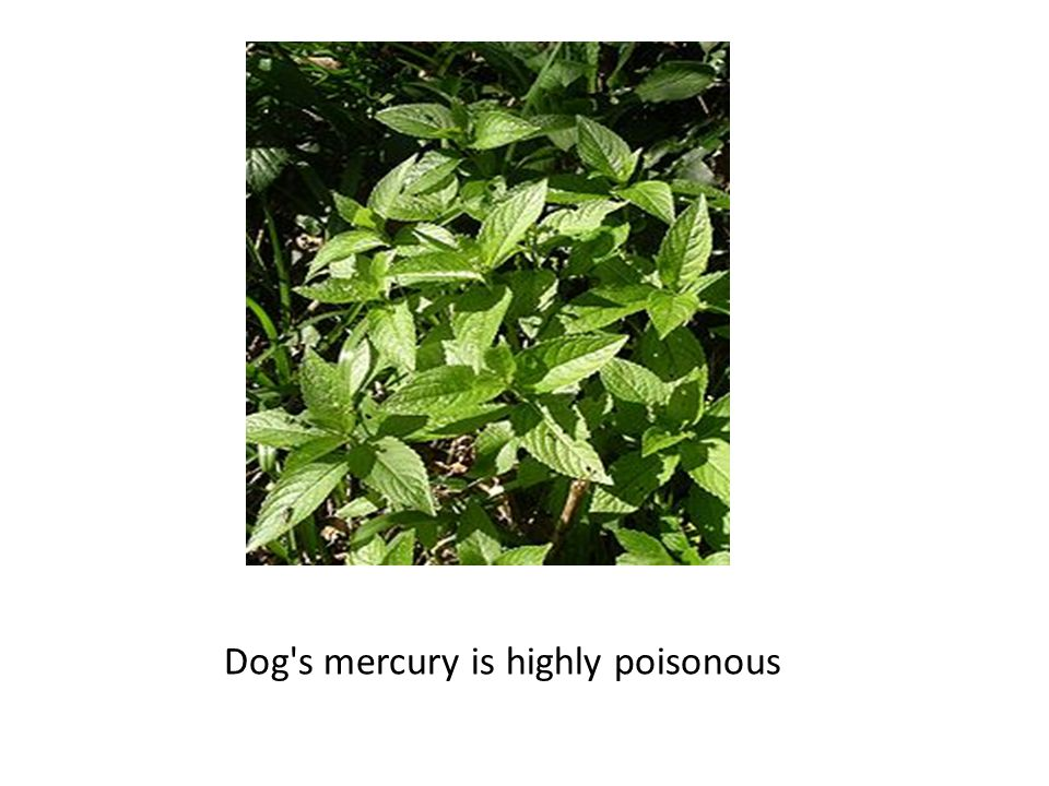 Dog s mercury is highly poisonous