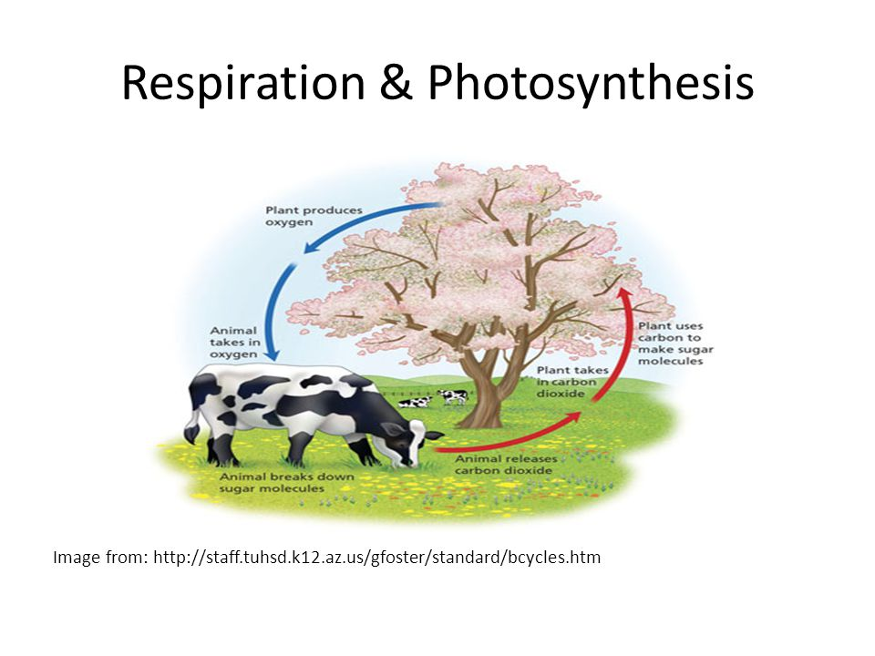 Respiration & Photosynthesis Image from: http://staff.tuhsd.k12.az.us/gfoster/standard/bcycles.htm