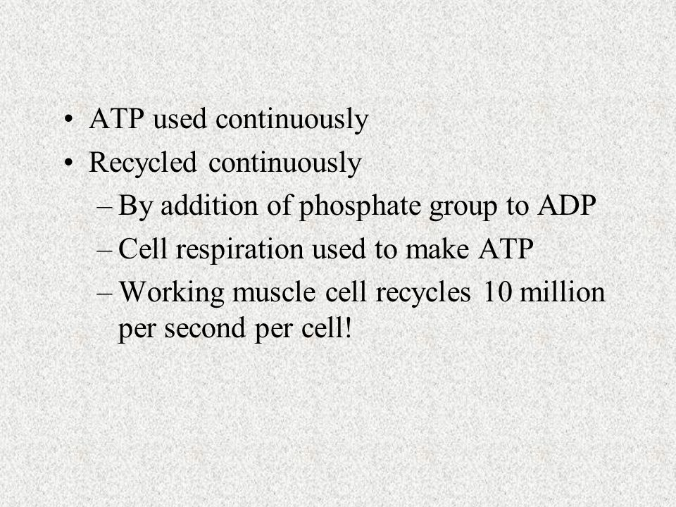 ATP used continuously Recycled continuously –By addition of phosphate group to ADP –Cell respiration used to make ATP –Working muscle cell recycles 10 million per second per cell!