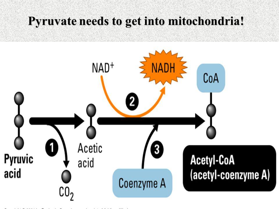 Pyruvate needs to get into mitochondria!