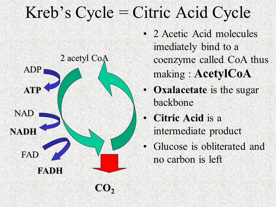 Kreb's Cycle = Citric Acid Cycle 2 Acetic Acid molecules imediately bind to a coenzyme called CoA thus making : AcetylCoA Oxalacetate is the sugar backbone Citric Acid is a intermediate product Glucose is obliterated and no carbon is left 2 acetyl CoA CO 2 ADP ATP NAD NADH FAD FADH