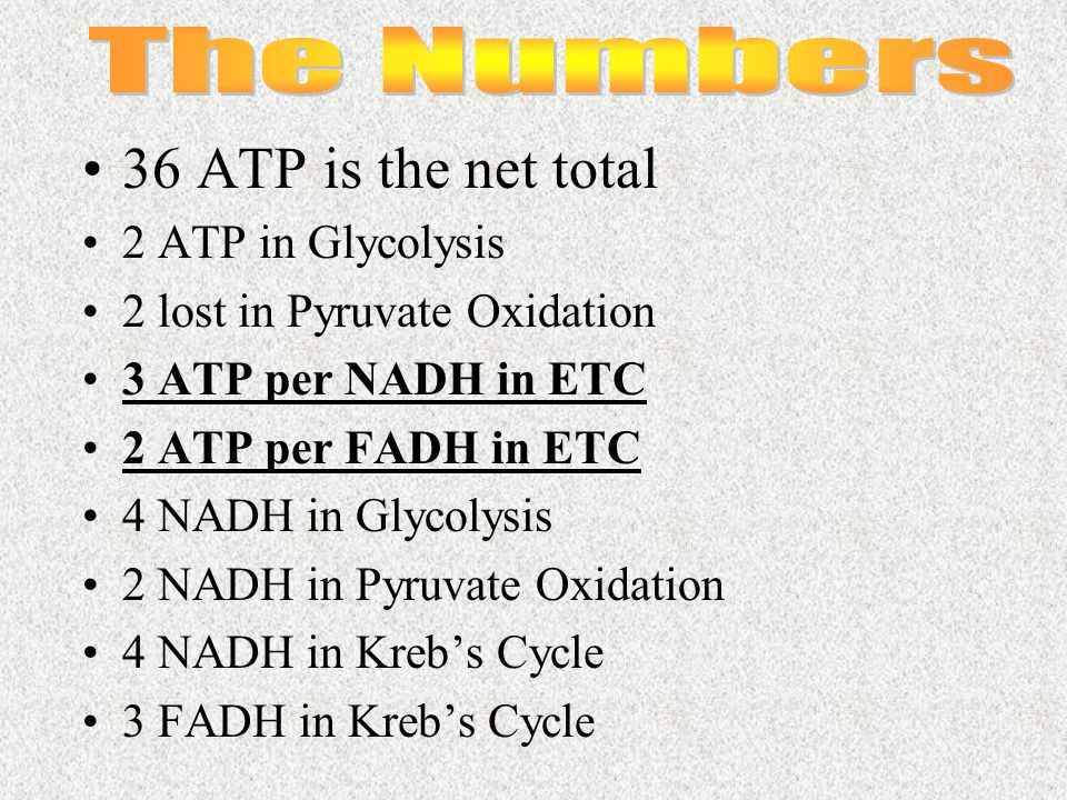 36 ATP is the net total 2 ATP in Glycolysis 2 lost in Pyruvate Oxidation 3 ATP per NADH in ETC 2 ATP per FADH in ETC 4 NADH in Glycolysis 2 NADH in Py