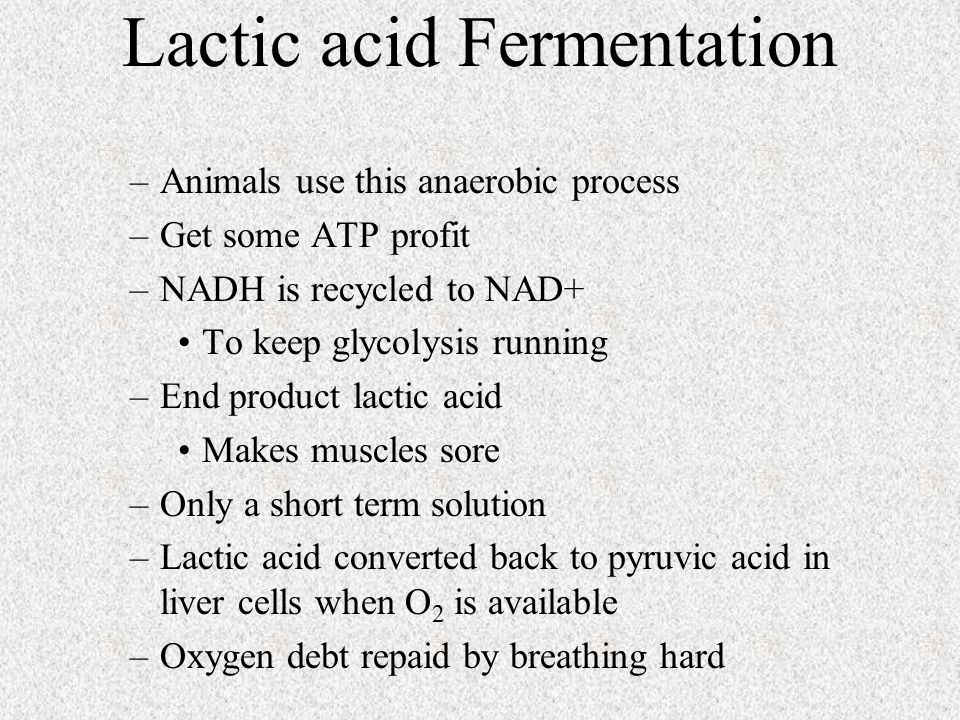 –Animals use this anaerobic process –Get some ATP profit –NADH is recycled to NAD+ To keep glycolysis running –End product lactic acid Makes muscles sore –Only a short term solution –Lactic acid converted back to pyruvic acid in liver cells when O 2 is available –Oxygen debt repaid by breathing hard Lactic acid Fermentation