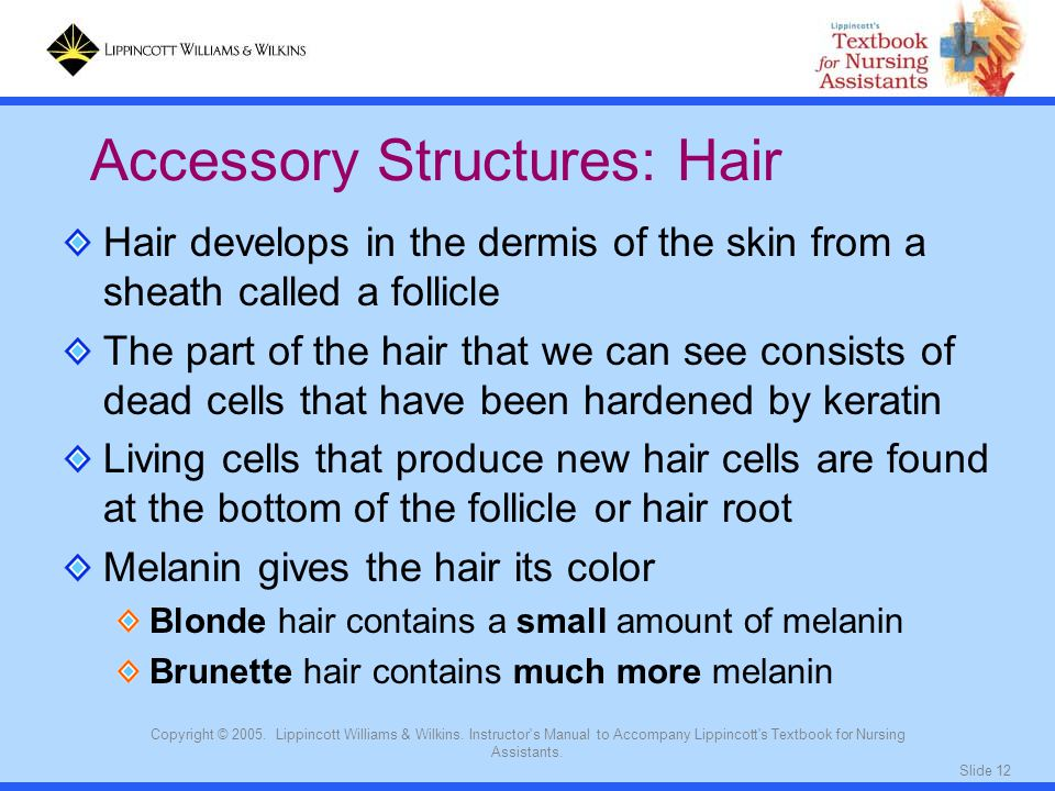 Slide 12 Copyright © 2005. Lippincott Williams & Wilkins. Instructor's Manual to Accompany Lippincott's Textbook for Nursing Assistants. Hair develops