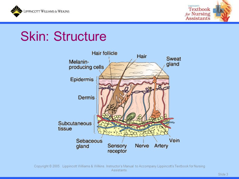 Slide 3 Copyright © 2005. Lippincott Williams & Wilkins. Instructor's Manual to Accompany Lippincott's Textbook for Nursing Assistants. Skin: Structur