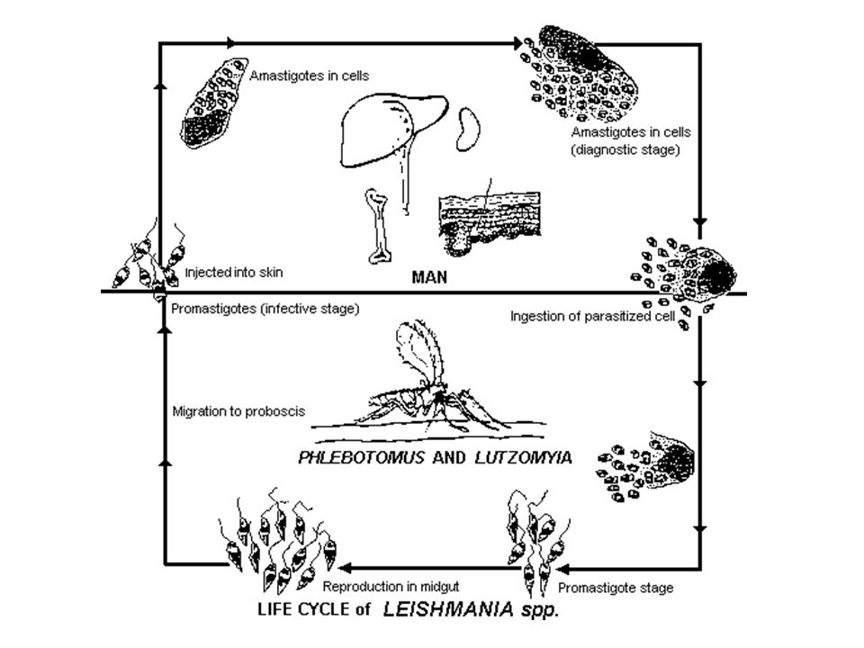 Leishmania Parasites and Diseases DiseaseSPECIES Cutaneous leishmaniasis Leishmania tropica* Leishmania major* Leishmania aethiopica Leishmania mexicana Mucocutaneous leishmaniasis Leishmania braziliensis Visceral leishmaniasis Leishmania donovani* Leishmania infantum* Leishmania chagasi * Endemic in Saudi Arabia