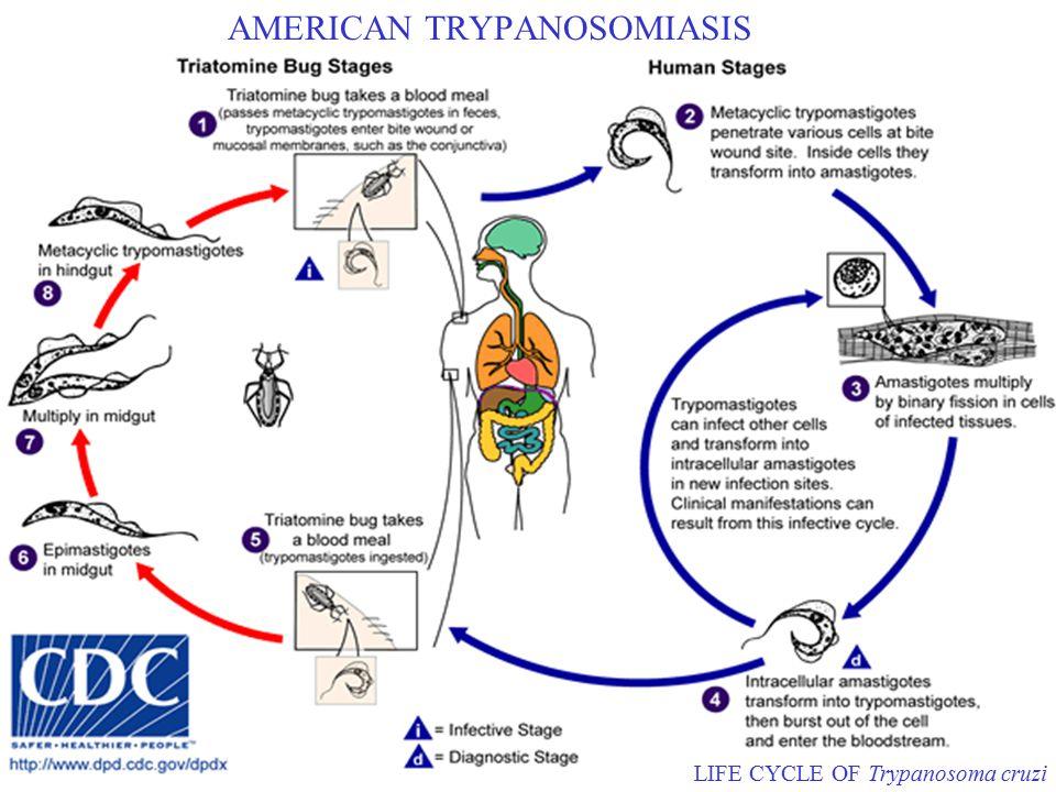 AMERICAN TRYPANOSOMIASIS LIFE CYCLE OF Trypanosoma cruzi