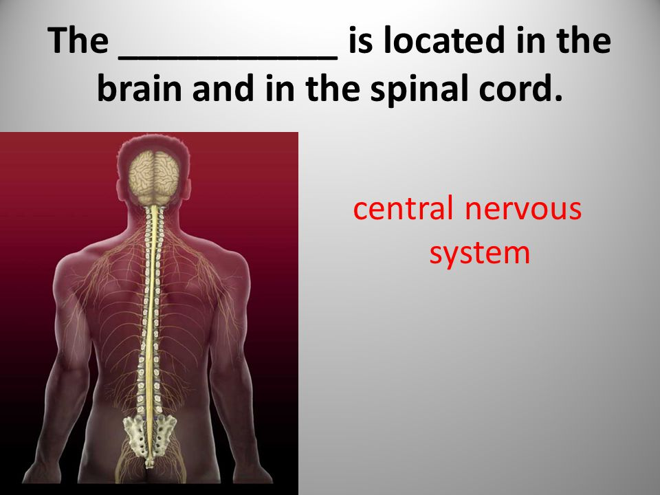 The ___________ is located in the brain and in the spinal cord. central nervous system