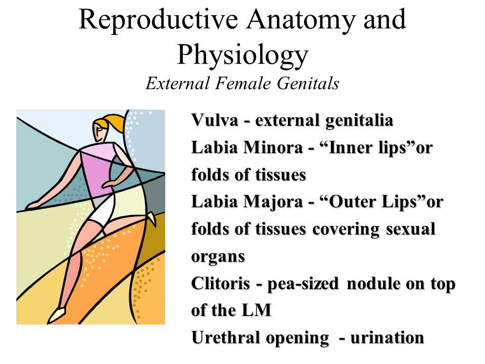 Reproductive Anatomy and Physiology External Female Genitals Vulva - external genitalia Labia Minora - Inner lips or folds of tissues Labia Majora - Outer Lips or folds of tissues covering sexual organs Clitoris - pea-sized nodule on top of the LM Urethral opening - urination