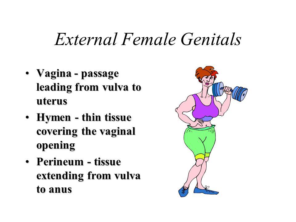 External Female Genitals Vagina - passage leading from vulva to uterusVagina - passage leading from vulva to uterus Hymen - thin tissue covering the v