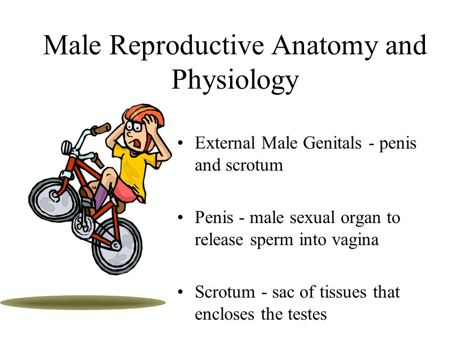 Male Reproductive Anatomy and Physiology External Male Genitals - penis and scrotum Penis - male sexual organ to release sperm into vagina Scrotum - sac of tissues that encloses the testes