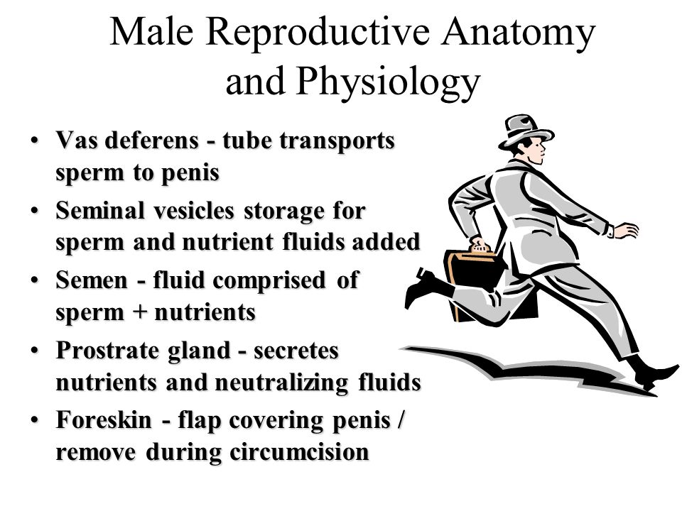 Male Reproductive Anatomy and Physiology Vas deferens - tube transports sperm to penisVas deferens - tube transports sperm to penis Seminal vesicles storage for sperm and nutrient fluids addedSeminal vesicles storage for sperm and nutrient fluids added Semen - fluid comprised of sperm + nutrientsSemen - fluid comprised of sperm + nutrients Prostrate gland - secretes nutrients and neutralizing fluidsProstrate gland - secretes nutrients and neutralizing fluids Foreskin - flap covering penis / remove during circumcisionForeskin - flap covering penis / remove during circumcision